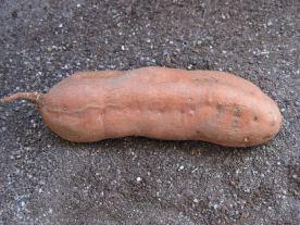 Süßkartoffelknolle vor dem Einsetzen in die Erde