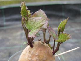 austreibende Süßkartoffel im Wasserglas