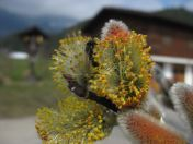Männliche Blüte und Wildbiene
