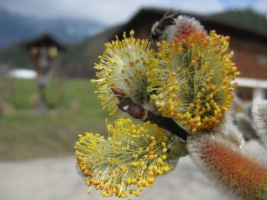 Männliche Blüte, Wildbiene