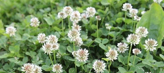clover-87943_640