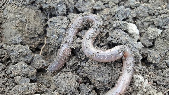 earthworm-2205286_1920